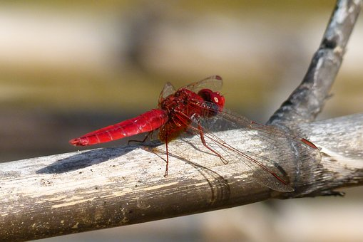 Red Dragonfly, American Cane, Dragonfly, Wetland