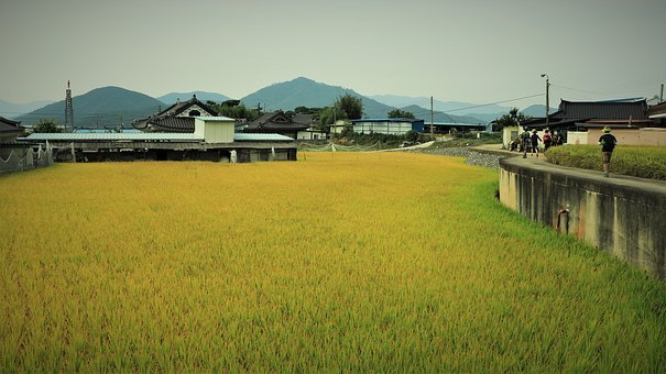 Rice, Fall, Autumn, Weather, Season, Country, Old