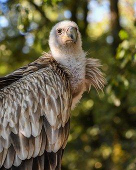 Vulture, Tawny, Raptor, Bird, Scavenger