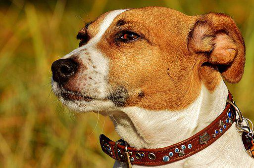 Jack Russell, Terrier, Dog, Animal, Pet, Snout, Cute