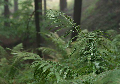 Forest, The Fog, Tree, Slope, Mountains, Fern, Spruce