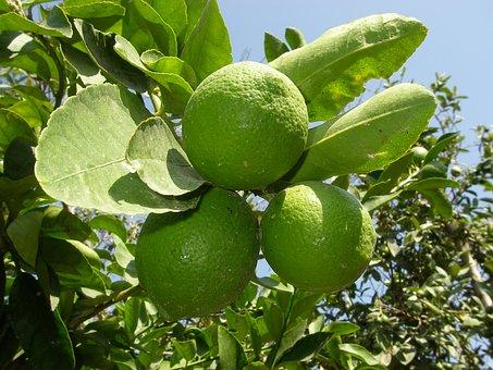 Lemon, Green, Lime, Fruit, Citrus, Fruit Tree, Acidity