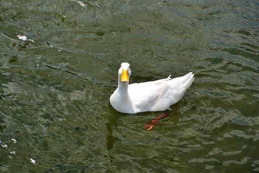 Smiling Texan Duck, Happy, Love, Proud, Animal
