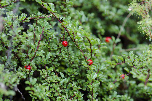 Green, Berry, Dew, Red, Greenery, Vegetation