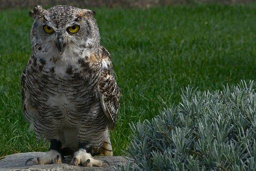 Eagle Owl, Owl, Bird, Bird Of Prey, Feather, Plumage
