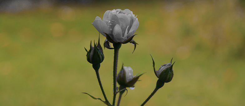 Rose, White, Blossom, Bloom, White Roses, Beautiful