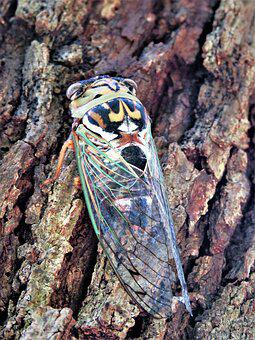 Insect, Flying, Cicada, Colorful, Wildlife