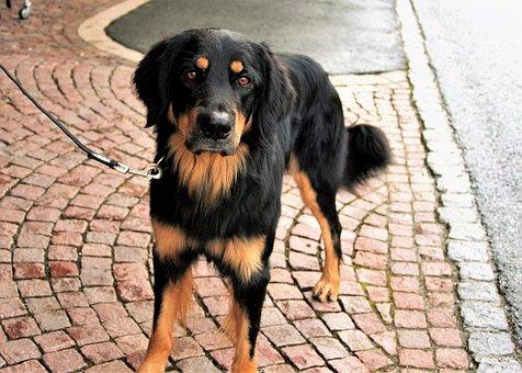 Dog, Sadness, Waiting, Labrador, Animal, Longing