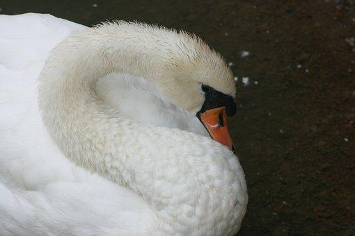 Swan, Bird, Duck, White, Wildlife, Feather, Lake, Beak