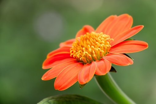 Tithonia, Mexican Sunflower, Flower