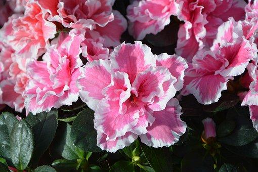 Flowers, Azalea, Pink White, Green Leaves, Pot