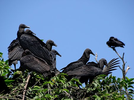 Vulture, Ave, Zope, Flock, Zoo, Wing, Fly, Fauna