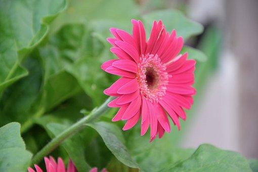 Flowers, Pink, Petals, Color Pink, Pink Flowers, Garden