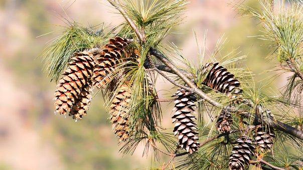 Pine, Pine Cones, Gymnospermae, Pinecone, Tree