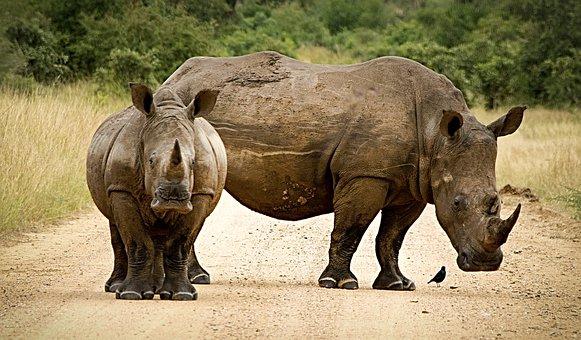 Rhinoceros, Close, Couple, Horn, Endangered, Big 5