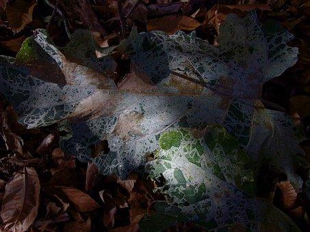 Leaf, Fall, Plant, Lace