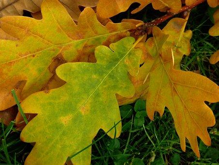 Leaf, Oak, Oak Leaf, Tree, Autumn, Oak Leaves, Leaves