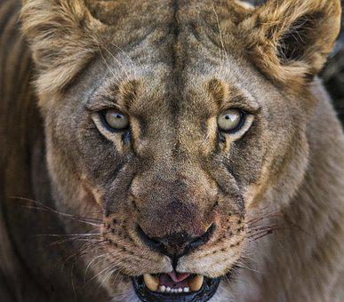 Lioness, Close, Eyes, Portrait, Blood, Ferocious