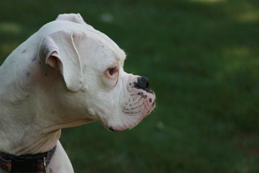 Boxer Dog, Pet, Animal, Dog, Puppy, Friend, Purebred