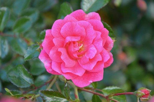 Pink, Rose Pink, Flower Green Leaves, Decoration Offer