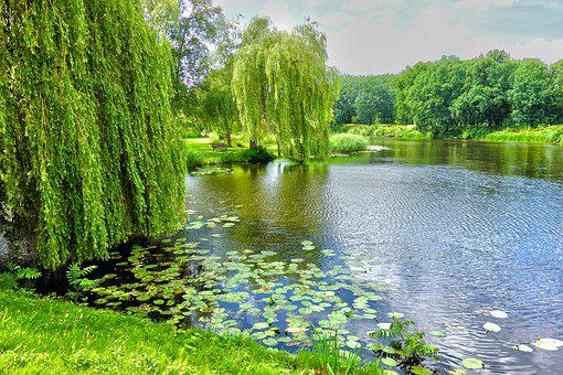 Pond, Willow, Weeping Willow, Water Lily, Park, Scenery