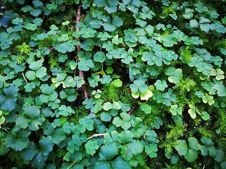 Shamrocks, Plant, Lucky Charm, Auspicious Symbols
