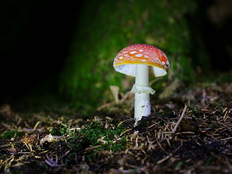 Fly Agaric, Forest Floor, Autumn, Toxic, Red White