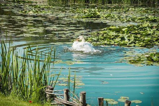 Swan, Swans, White, Lake, Background, Isolated, Heart