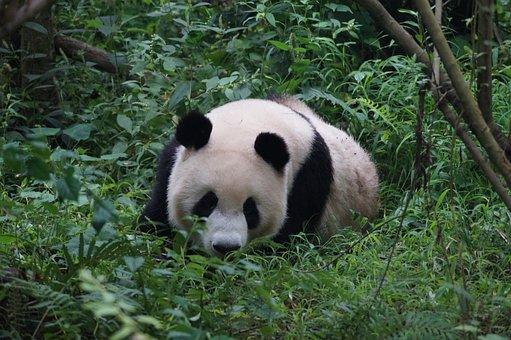 Panda, Animals, China, Bear, Bamboo, Animal World