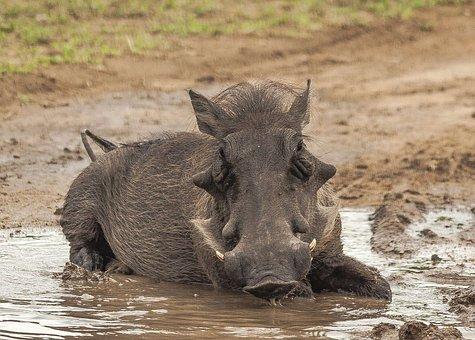 Warthog, Mud, Bathing, Close, Cute, Comical, Park