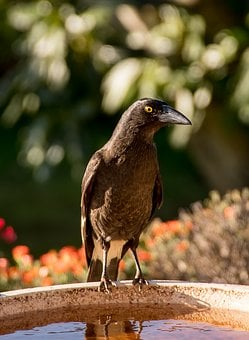 Pied Currawong, Strepera Graculina, Bird, Black