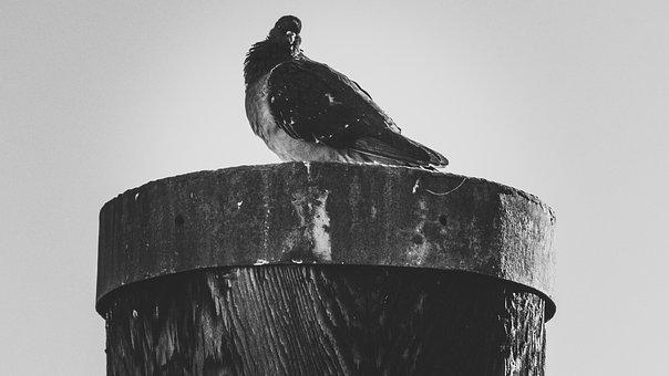City Pigeon, Lake Constance, Port, Bird, Black White