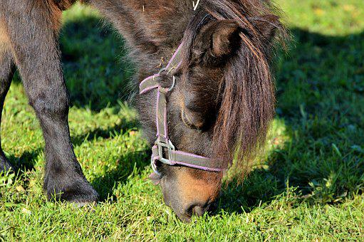 Horse, Pony, Mane, Brown, Small Horse Breed, Seahorses