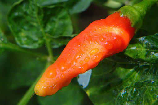 Chilli, Chilly, Cabe, Red, Spicy, Food, Chili, Fresh