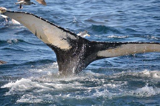 Humpback Whale, Whale, Cape Cod, Massachusetts