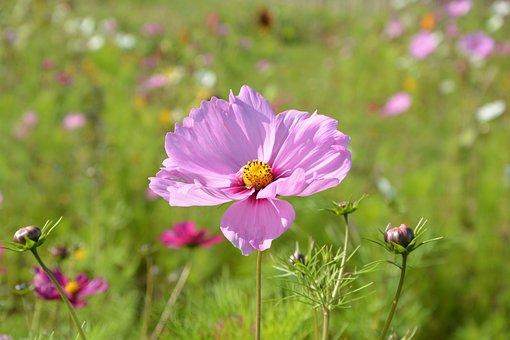 Pink Flower Purple, Corner Rustic Nature, Botany