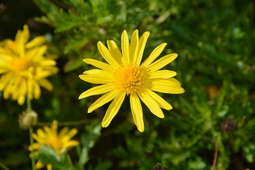 Flower, Yellow Flower, Daisies, Nature, Garden