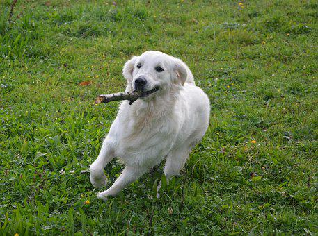 Dog, Dog Golden Retriever, Run, Nature