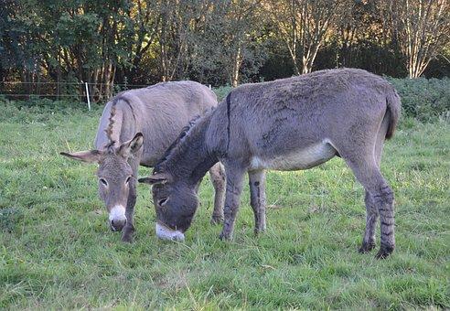 Donkeys, Equines, Croix Saint André, Eat, Herbivore