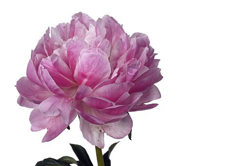 Peony, Flower, Floral, Nature, Pink, White, Petals