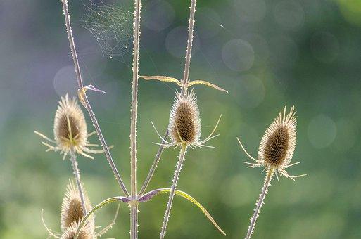 Thistle, Macro, Flower, Spider Webs, Close, Plant