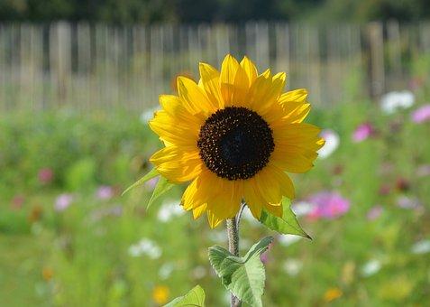 Flower, Sunflower, Plant, Nature, Yellow, Sun