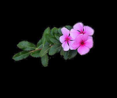 Image Png, Pink Flowers, Flowers, Bloom, Flowering