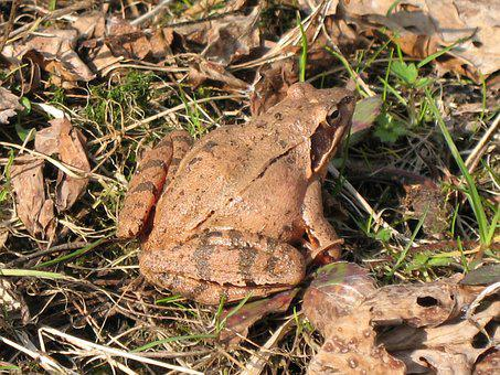 Toad, Ground Toad, Frog, Brown, Macro, Biology, Fauna