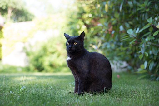 Domestic Cat, Black Cat, Kitten, Cat, Pets, Black Puss