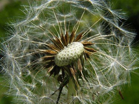 Dandelion, Fluff, Dandelions, Flower, Medical, Seed