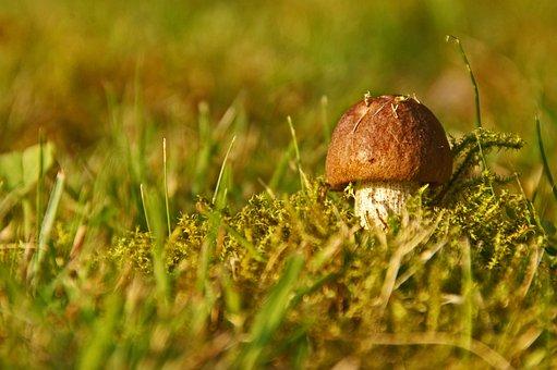 Cep, Mushroom, Chestnut, Autumn, Forest, Nature