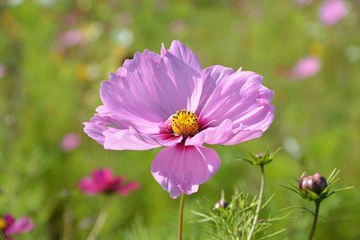 Flower, Pink Flower Parma, Nature, Garden, Fleuri