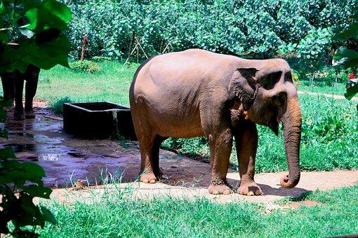 Gajah Sumatera, South Africa, Wild, Nature, Wildlife