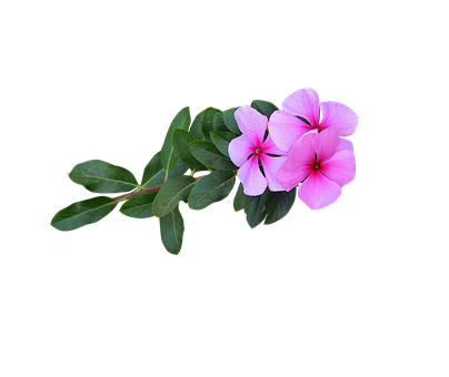 Image Png, Pink Flowers, Flowers, Bloom, Flowering